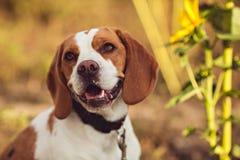Śliczny Beagle pies W naturze Fotografia Royalty Free