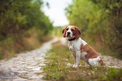 Śliczny Beagle pies W naturze Zdjęcie Royalty Free