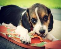 Śliczny Beagle szczeniak Obraz Royalty Free
