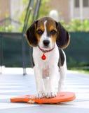 Śliczny Beagle szczeniak Obraz Stock