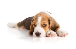 śliczny beagle szczeniak Obrazy Stock