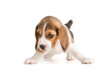 śliczny beagle szczeniak Zdjęcie Royalty Free