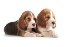 śliczny beagle szczeniak Fotografia Royalty Free