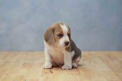 Śliczny beagle szczeniak w akci Obraz Stock