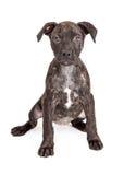 Śliczny Brindle szczeniaka obsiadanie Zdjęcie Stock