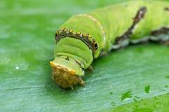 Śliczny Caterpillar Borneo Fotografia Stock