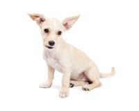 Śliczny chihuahua Crossbreed szczeniak Z Radosnymi ucho Zdjęcia Stock