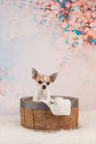 Śliczny chihuahua pies w koszu Obraz Stock