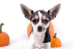 Śliczny chihuahua pies z baniami Obraz Stock
