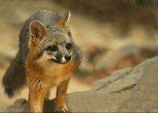 Śliczny, Ciekawy Popielaty Fox, Obrazy Stock