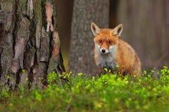 Śliczny Czerwony Fox, Vulpes vulpes przy zielonym lasem, Zdjęcia Royalty Free