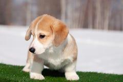 ?liczny czerwony Welsh corgi pembroke szczeniak na trawie, chodzi plenerowego, mie? zabaw? w bia?ym ?niegu parku, zima las, bieg  zdjęcie royalty free