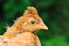 Śliczny Czubaty dziecko kurczak Obraz Royalty Free