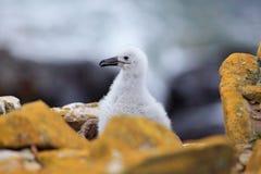 Śliczny dziecko Czarnobrewy albatros, Thalassarche melanophris, siedzi na gliny gniazdeczku na Falkland wyspach Przyrody scena w  Obrazy Royalty Free