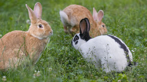 śliczny dziecko królik jej mienia matki króliki Zdjęcia Royalty Free