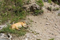 Śliczny dziecko psa dosypianie na ziemi Zdjęcie Stock