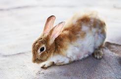 Śliczny dziki królika królik Obraz Royalty Free