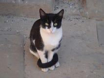 Śliczny Egipski kot Obraz Royalty Free