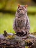 Śliczny Europejski dziki kot z distictive ogonem Obraz Royalty Free