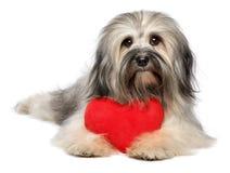 Śliczny kochanek walentynki Havanese pies z czerwonym sercem Obrazy Royalty Free