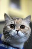 Brytyjski Shorthair kot Fotografia Stock