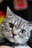 Brytyjski Shorthair kot Zdjęcia Stock