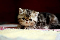 Egzotyczny Shorthair kot Zdjęcia Stock