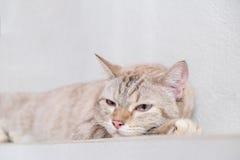 śliczny kota dosypianie Obraz Royalty Free