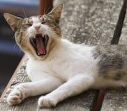 Śliczny kota ziewanie Zdjęcie Stock