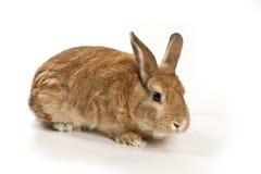 Śliczny królik Fotografia Stock