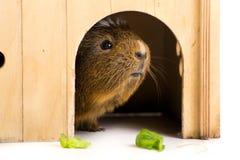 śliczny królik doświadczalny Zdjęcie Stock