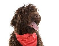 śliczny labradoodle szczeniaka czerwieni szalik Zdjęcie Stock