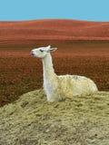 Śliczny lamy Lama Glama obsiadanie Fotografia Royalty Free