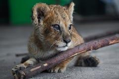śliczny lew Zdjęcie Royalty Free