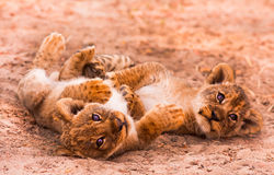 Śliczny lew Cubs Obrazy Stock