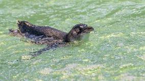 ?liczny ma?y pingwin p?ywa przy pingwin wysp?, Rockingham, zachodnia australia zdjęcia stock