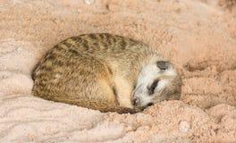 Śliczny meerkat dosypianie (Suricata suricatta) zdjęcia royalty free