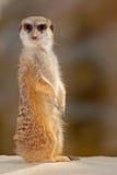 Śliczny Meerkat, Suricata suricatta, siedzi na kamieniu Obrazy Stock