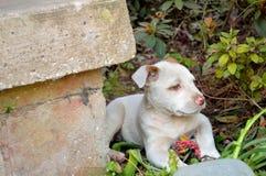 Śliczny mieszany trakenu pit bull szczeniak Fotografia Stock