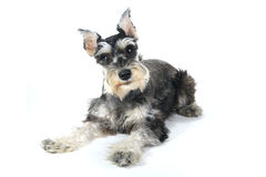 Śliczny Miniaturowego Schnauzer szczeniaka pies na Białym tle Obrazy Stock