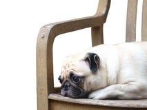 Śliczny mopsa pies Fotografia Stock