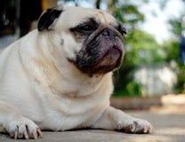 Śliczny mopsa pies Zdjęcia Stock