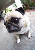 Śliczny mopsa pies Obraz Stock