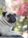 Śliczny mopsa pies Zdjęcie Stock