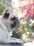 Śliczny mopsa pies Fotografia Royalty Free