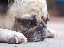 Śliczny mopsa pies Obrazy Stock