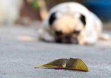 Śliczny mopsa pies Zdjęcia Royalty Free