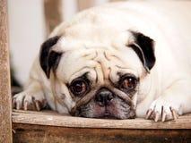 Śliczny mopsa pies Obrazy Royalty Free