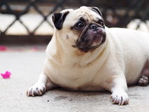 Śliczny mopsa pies Obraz Royalty Free