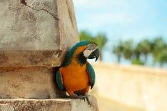 Śliczny papugi, ary ptak z piórkami lub Obraz Stock